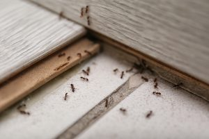 Termites on the floor of a home